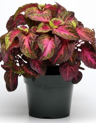 coleus versa collection wellgrow horti trading