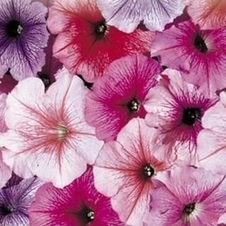 Celebrity Mix (Petunia/multiflora/pelleted) - Stokes Seeds