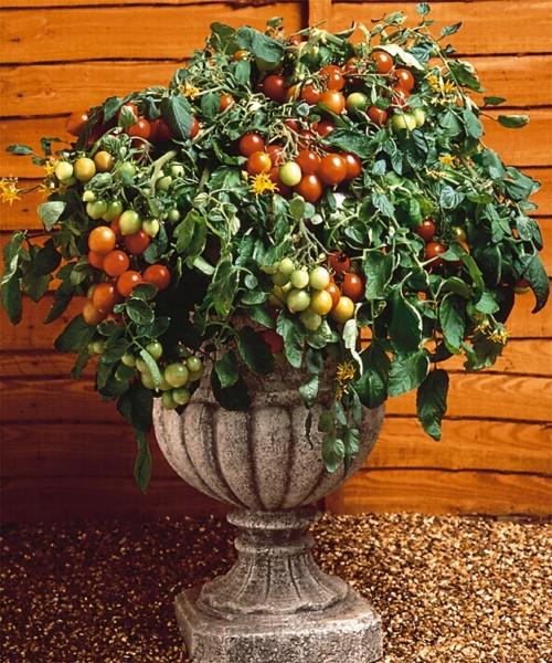 Tomato tumbler wellgrow horti trading - Plant de tomate cerise ...