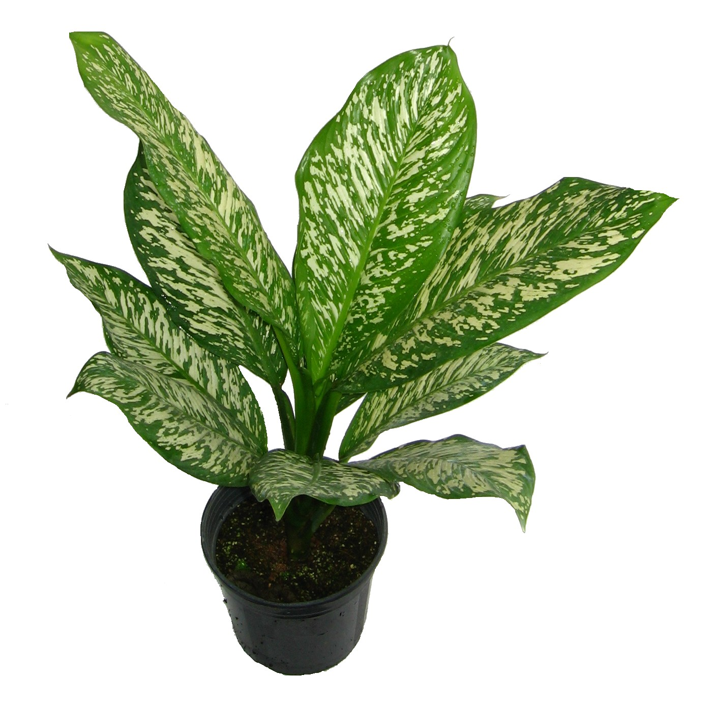 Malaysia Indoor Plants - Wellgrow Horti Trading on st.lucia plants, persia plants, china's plants, sub saharan africa plants, hiroshima plants, montenegro plants, polynesia plants, australia northern territory plants, medically important plants, arabian peninsula plants, liechtenstein plants, middle colonies plants, himalayan region plants, britain plants, pohnpei plants, stacy plants, zambia plants, central china plants, ice land plants, mayotte plants,