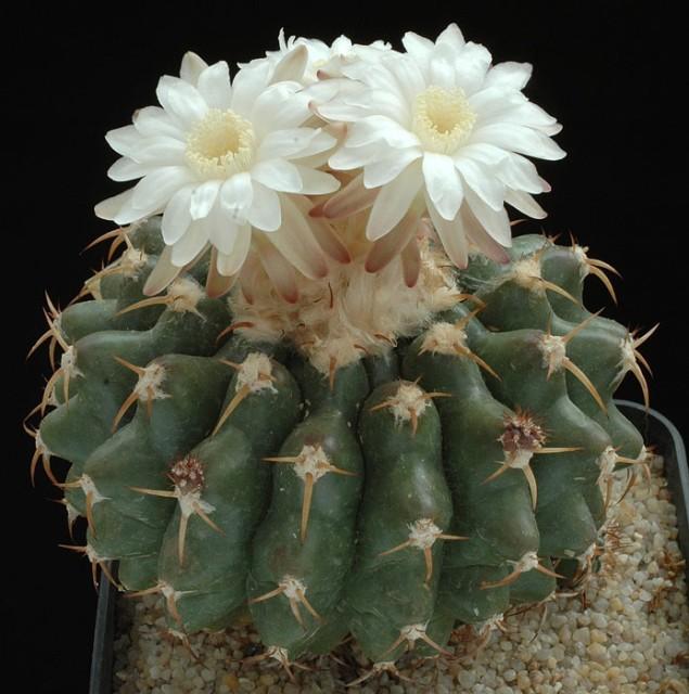 Cactus Seeds - Discocactus - Wellgrow Horti Trading